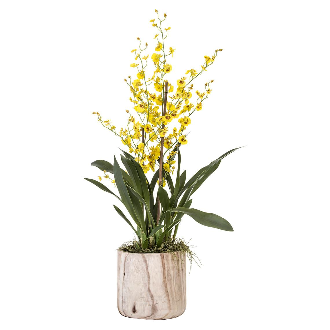 Dancing Orchid Size W 61cm x D 50cm x H 100cm in Yellow Freedom by Freedom, a Plants for sale on Style Sourcebook