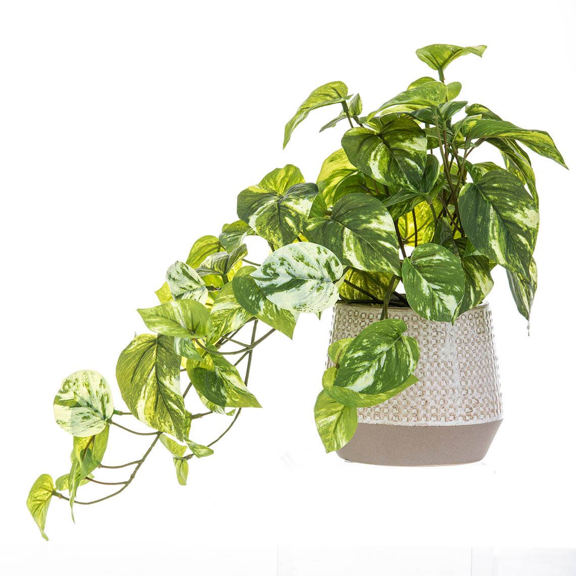 Pothos Hanging Bush Layla Pot Size W 35cm x D 30cm x H 50cm in Green Freedom by Freedom, a Plants for sale on Style Sourcebook