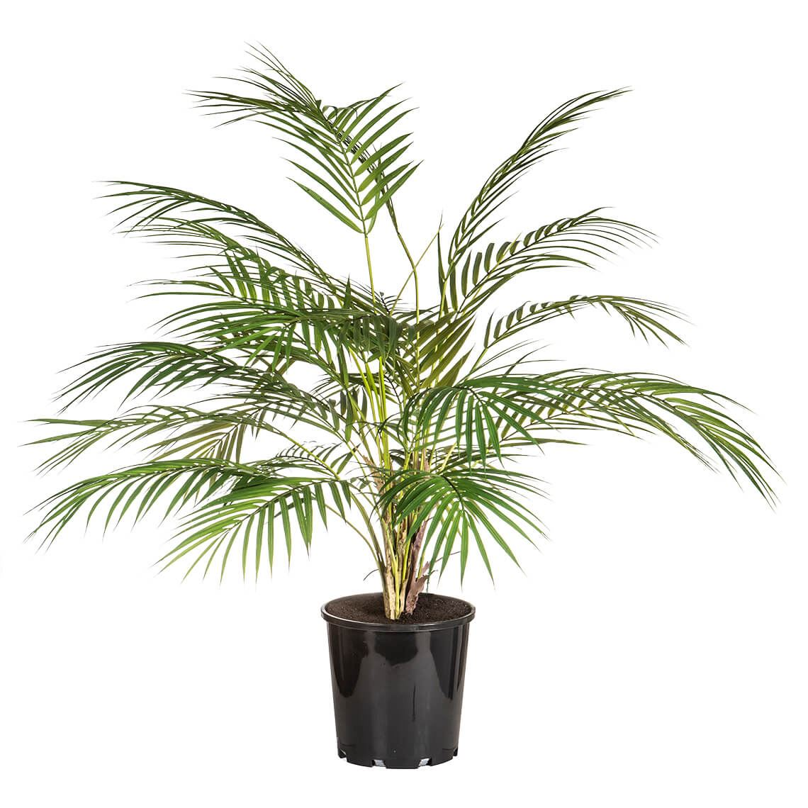 Pheonix Palm Size W 70cm x D 70cm x H 85cm in Green/Black Plastic/Wire Freedom
