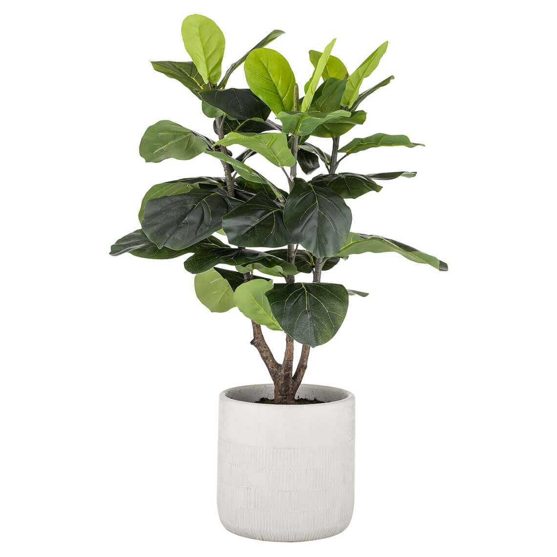 Giant Fiddle Tree In Pot Size W 57cm x D 57cm x H 57cm in Beige Freedom by Freedom, a Plants for sale on Style Sourcebook