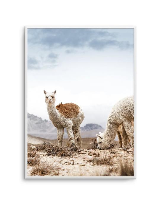 Mountain Llamas | PT