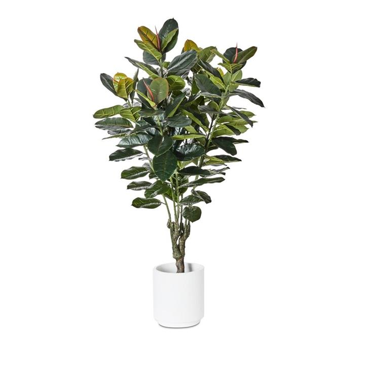 Home Republic Potted Plants   Rubber Fig 150cm - Rubberfig By Adairs
